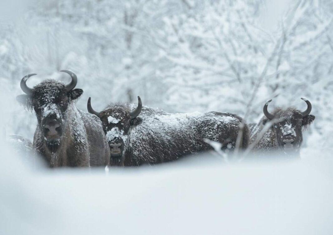Bieszczadzkie żubry Bison bonasus