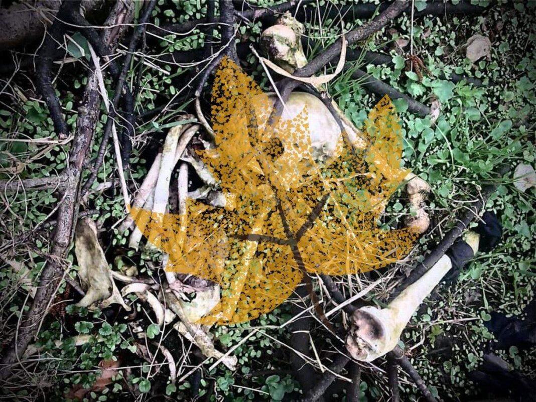 Gudzisz szczątki osoby odkryte w lesie