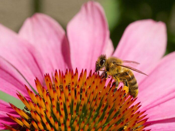 Pszczoła zbierająca pyłek z kwiatów